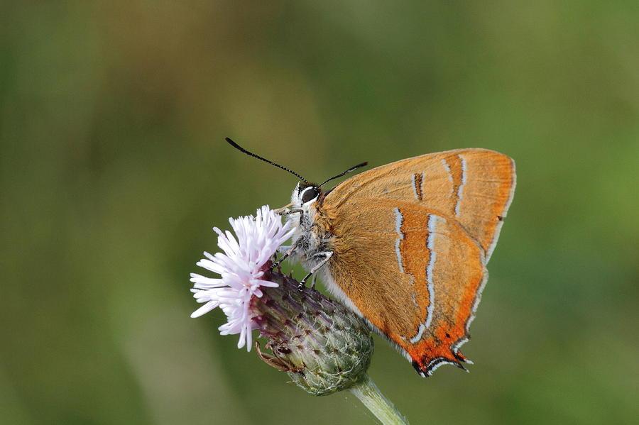 Butterfly Brown-hairstreak Nature Photography Pskeltonphoto Menlo Galway Ireland Summer Orange Green Thistle Photograph - Brown Hairstreak by Peter Skelton