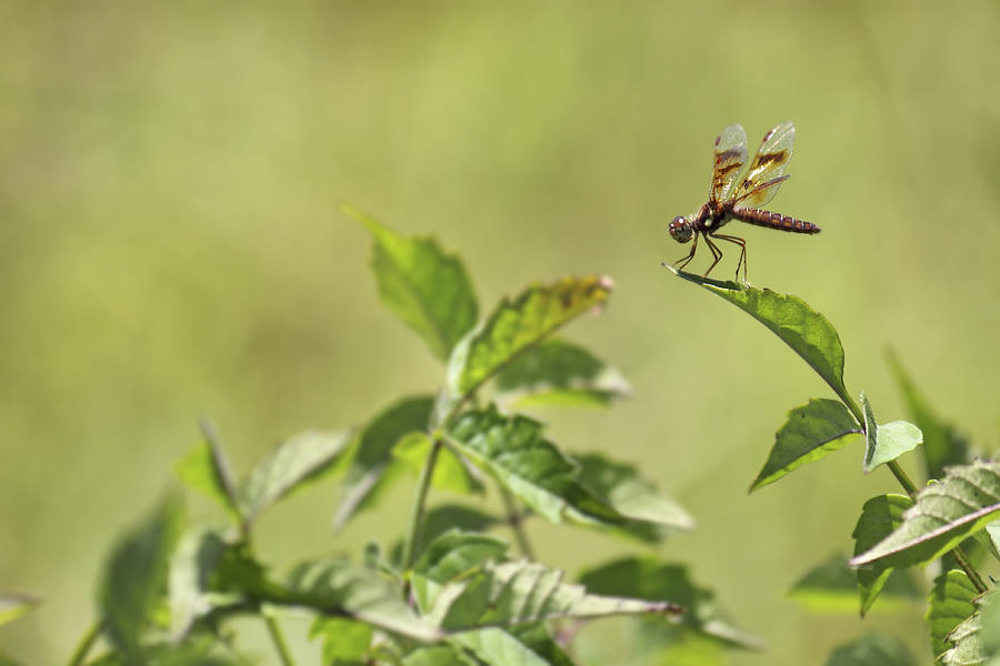 Dragonfly Photograph - Brown Hawker Dragonfly by Jason Politte