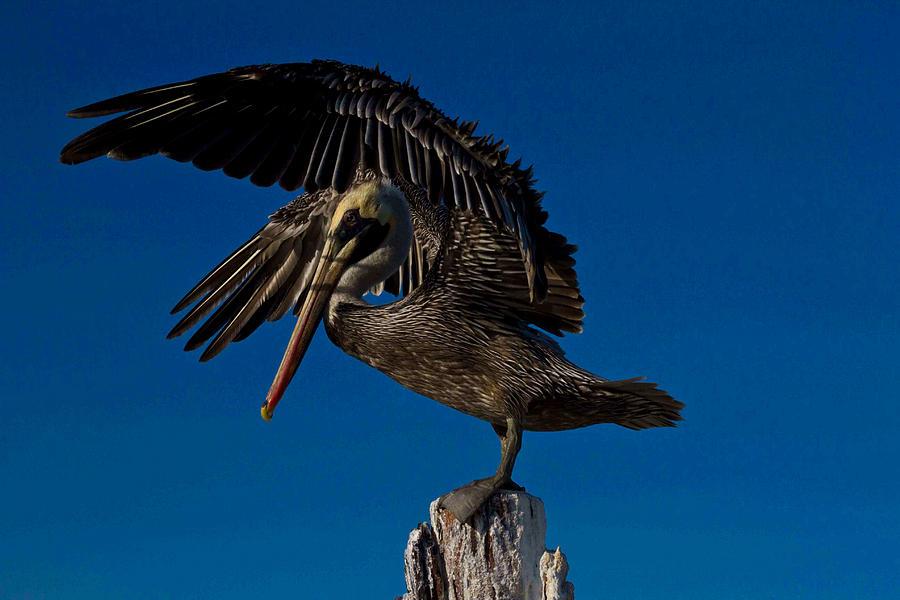 Brown Pelican Photograph - Brown King Pelican by Kristine Patti