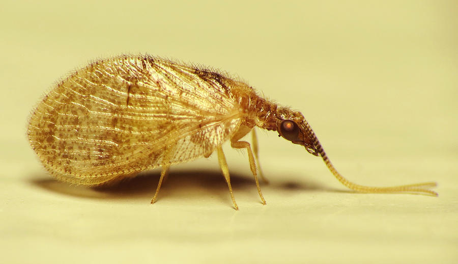 Fly Photograph - Brown Lacewing Fly by Walter Klockers