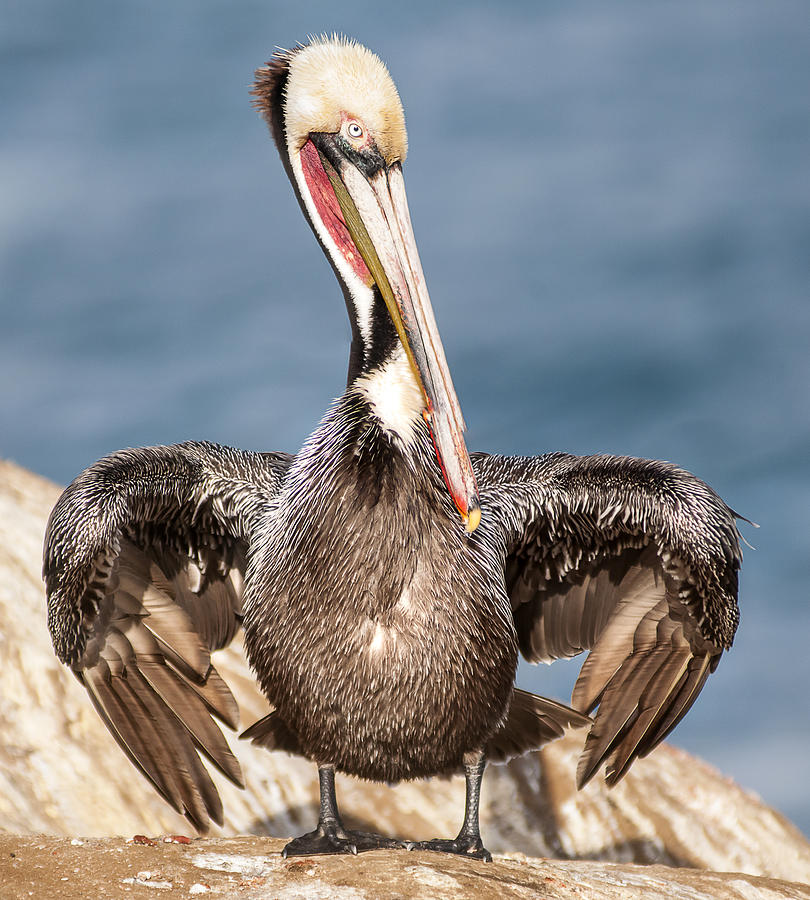 Brown Pelican 3 by Lee Kirchhevel