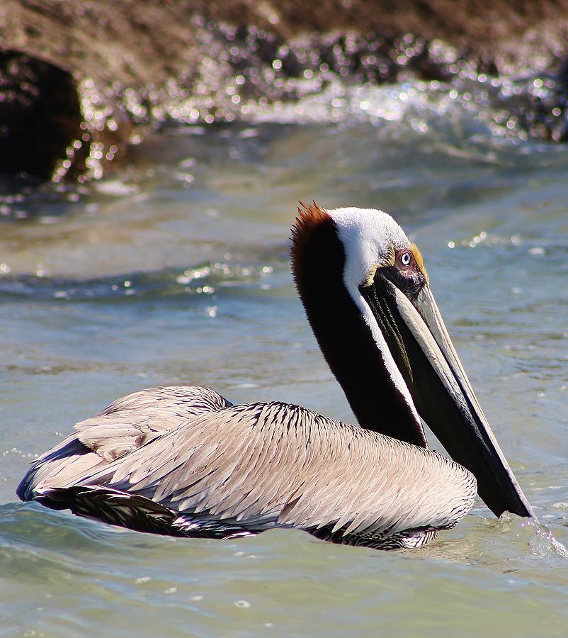Bird Photograph - Brown Pelican by Bruce Bley