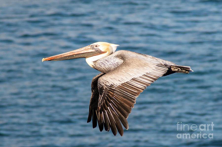 Brown Photograph - Brown Pelican Flying by Darleen Stry