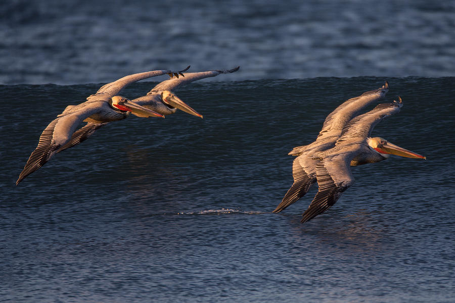 Pelicans Photograph - Brown Pelican Pairs 73A2331 by David Orias