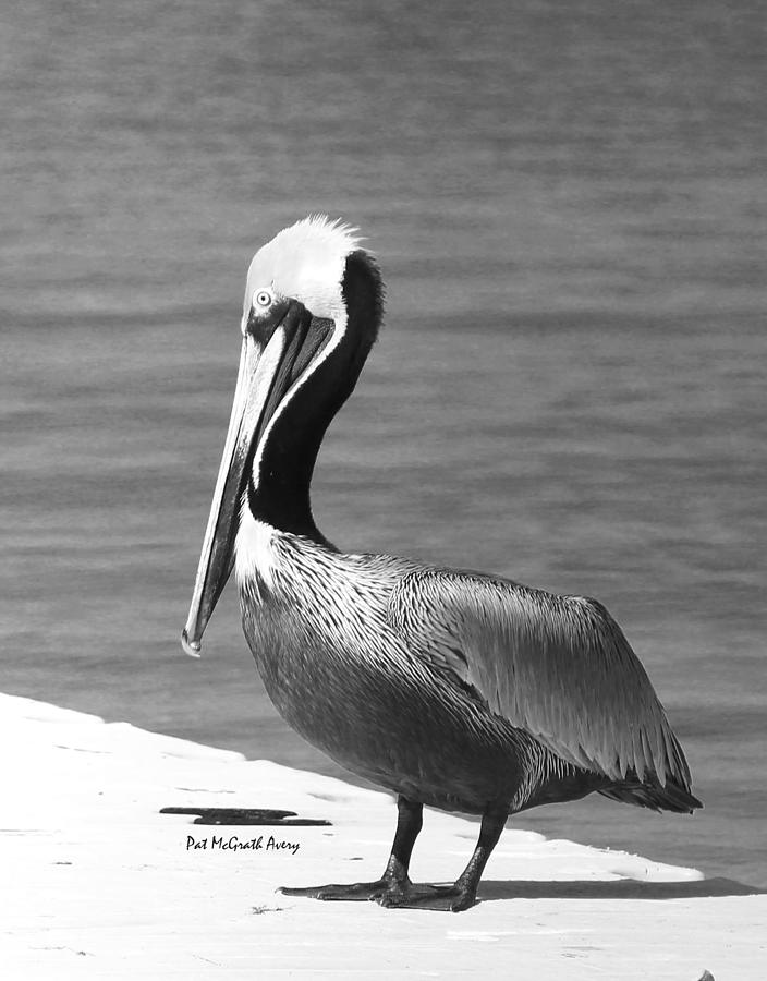 Pelican Photograph - Brown Pelican by Pat McGrath Avery