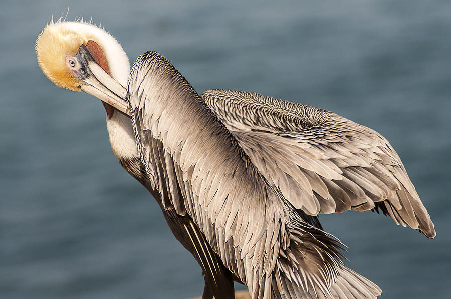 Brown Pelican Preening 1 by Lee Kirchhevel