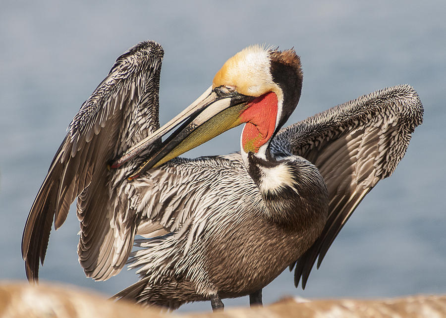 Brown Pelican Preening 2 by Lee Kirchhevel