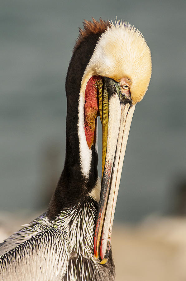 Brown Pelican Preening 4 by Lee Kirchhevel