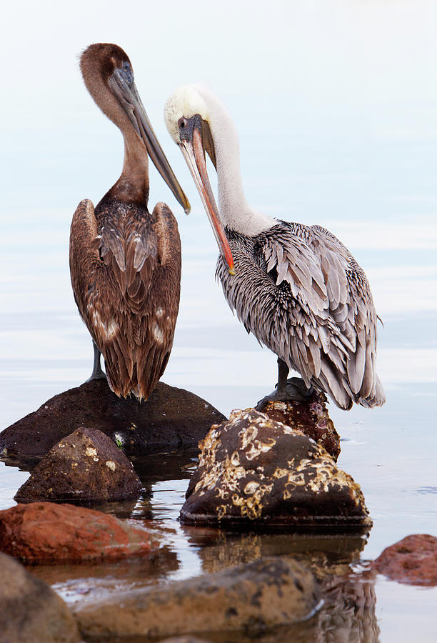 Brown Pelicans Preening Pelecanus Photograph by Anna Henly