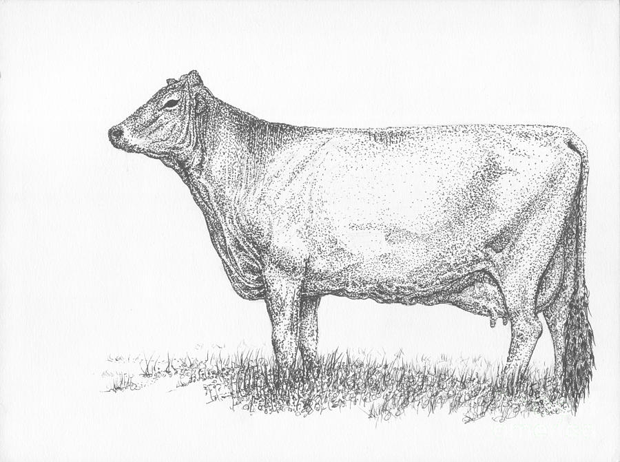 Cattle Drawing - Brown Swiss Dairy Cow by J E Vincent