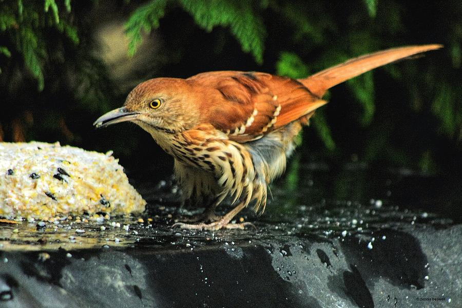 Brown Thrasher Photograph - Brown Thrasher by Dennis Baswell
