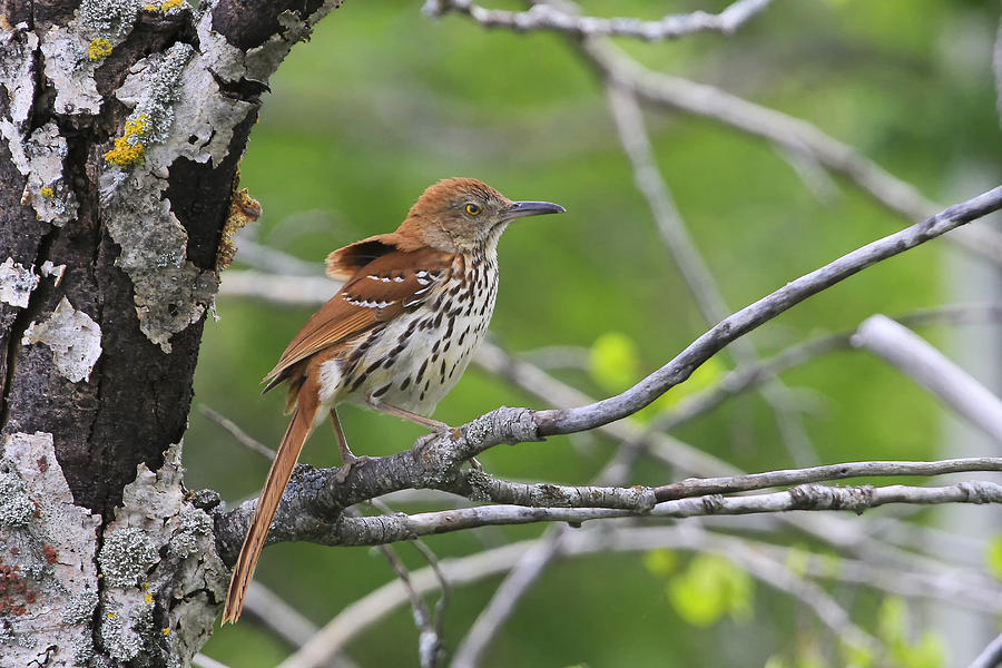 Gary Hall Photograph - Brown Thrasher by Gary Hall