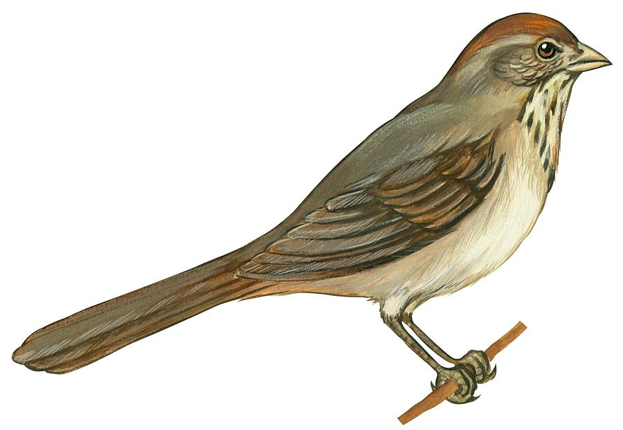 No People; Horizontal; Side View; Full Length; White Background; One Animal; Wildlife; Close Up; Illustration And Painting; Zoology; Bird; Branch; Wing; Feather; Perching; Beak; Tail; Brown; Brown Towhee; Pipilo Fuscus Drawing - Brown Towhee by Anonymous