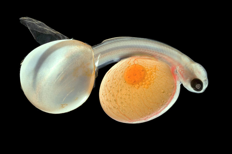 Alevin Photograph - Brown Trout Alevin Hatching by Ingo Arndt
