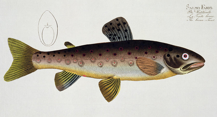 Fish Painting - Brown Trout by Andreas Ludwig Kruger