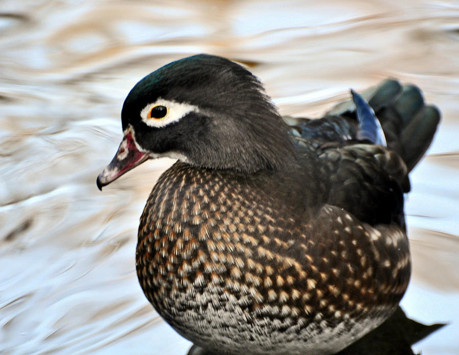 Duck Photograph - Brownie by Marty Koch