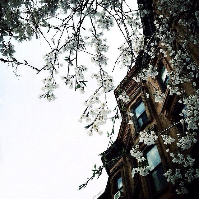Brooklyn Photograph - Brownstones & Blossoms by Natasha Marco