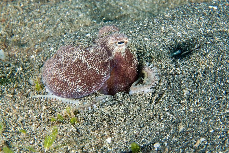 Animal Photograph - Brownstripe Octopus Burying Itself by Andrew J. Martinez