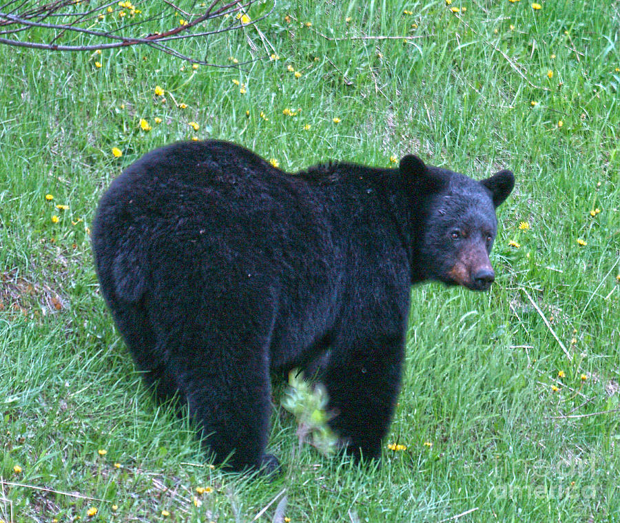 Bears Photograph - Browsing Black Bear by Skye Ryan-Evans