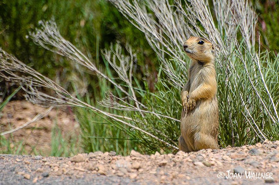 Bryce National Park Photograph - Bryce Prairie Dog by Joan Wallner