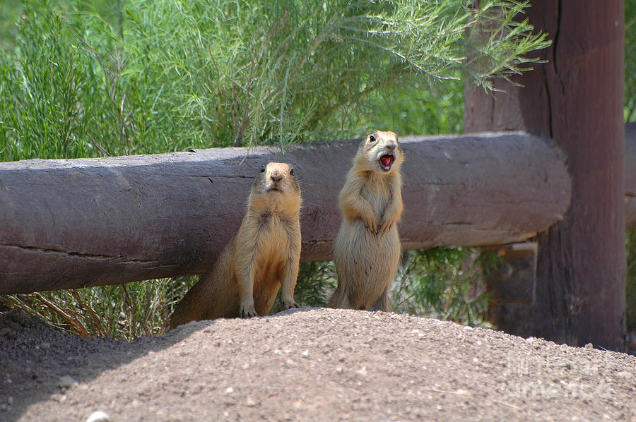 Two Photograph - Bryce Prairie Dogs by Joan Wallner