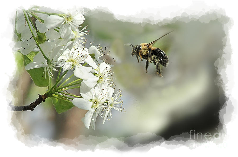 Bubble Bee Photograph - Bubble Bee Looking For Nectar by Dan Friend