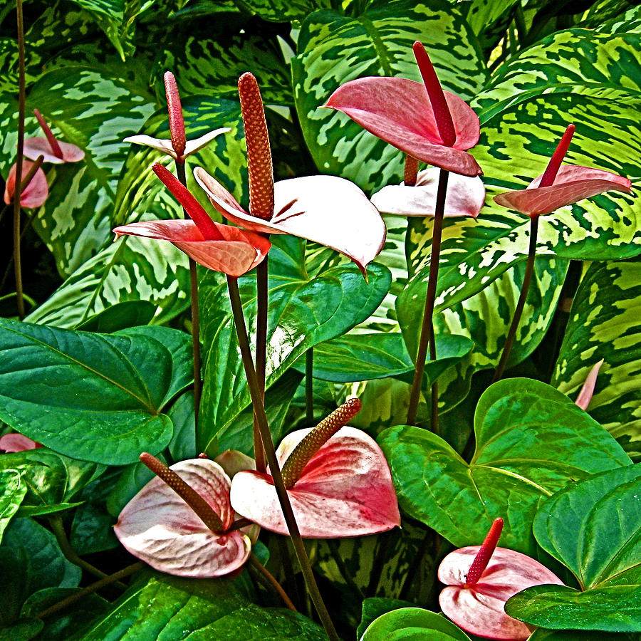 Washington Dc Photograph   Bubble Gum Anthurium In National Botanical Garden Washington  Dc By Ruth