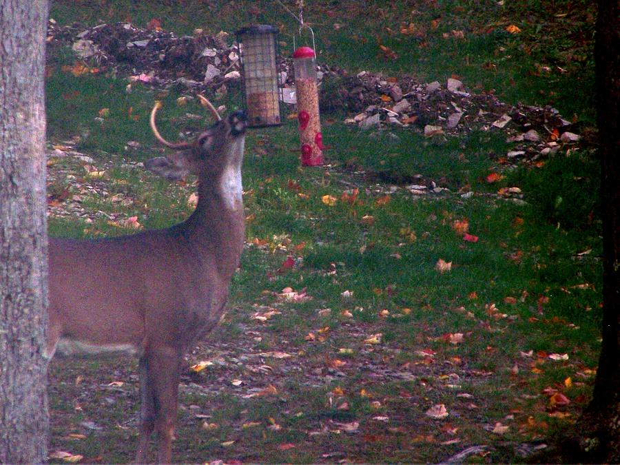 Wildlife Photograph - Buck Checking Out Birdseed by Lila Mattison