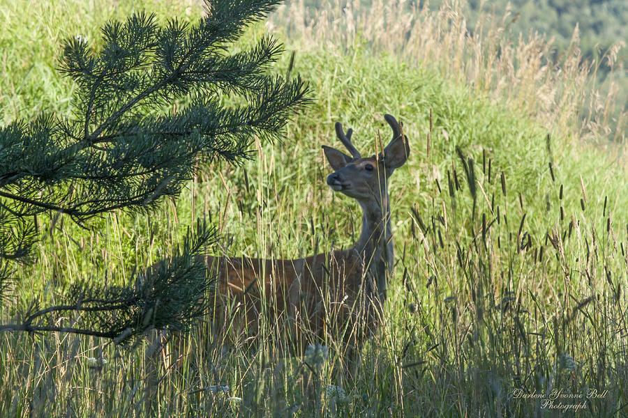 Deer Photograph - Buck In Field by Darlene Bell