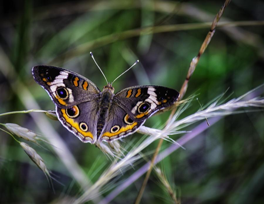 Buckeye Photograph - Buckeye Beauty by Barry Jones