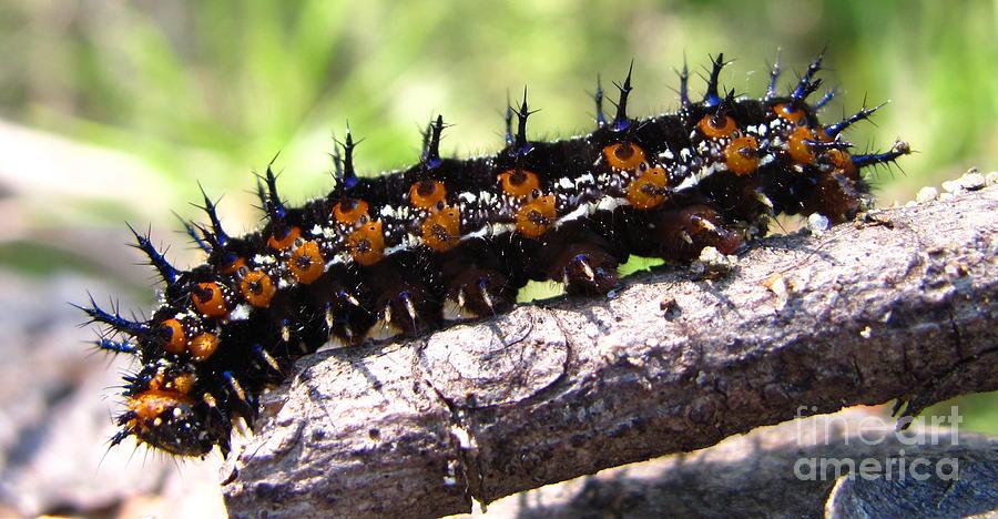 Buckeye Caterpillar 2 Photograph by Joshua Bales