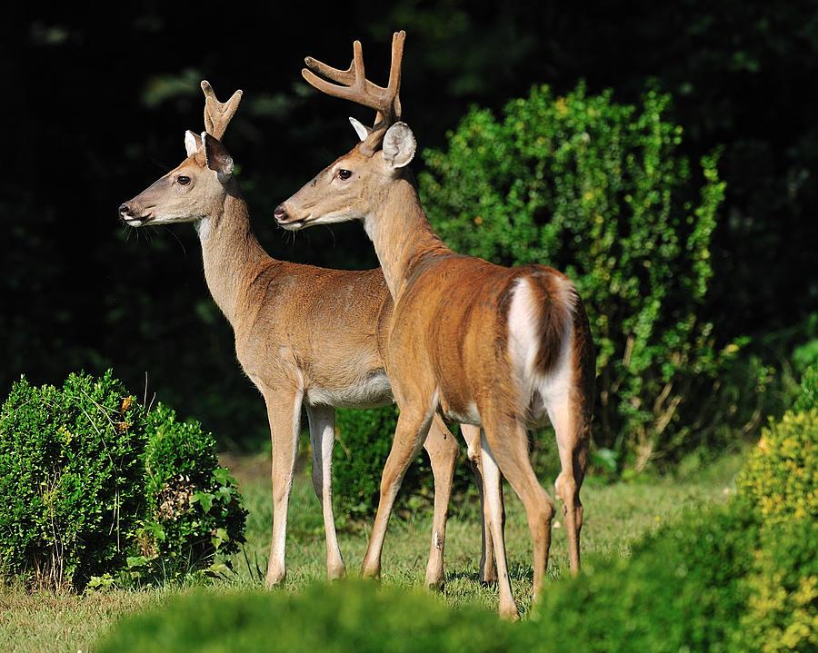 Wildlife Digital Art - Bucks In Silk by Angel Cher