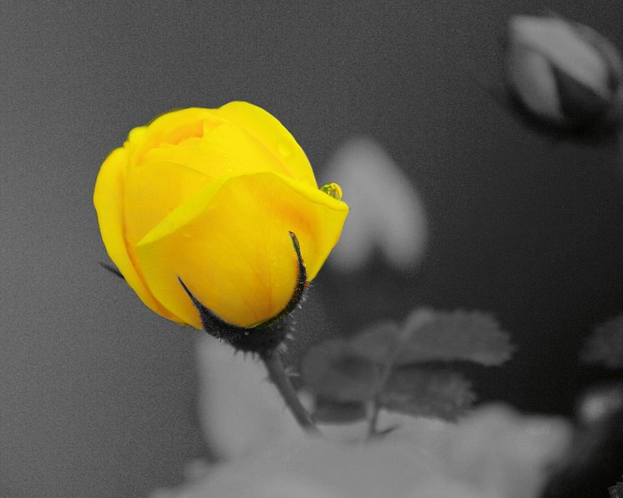 Rose Photograph - Bud - A Splash Of Yellow by John  Greaves