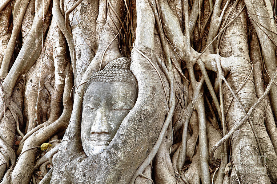Asia Photograph - Buddha Head In Tree Wat Mahathat Ayutthaya  Thailand by Fototrav Print