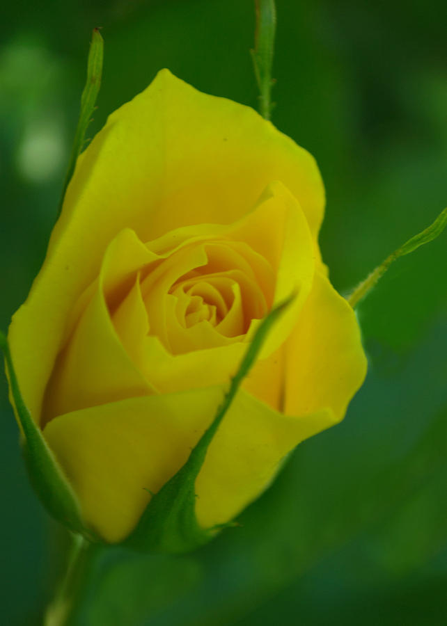 Rose Photograph - Budding Happiness by Rima Biswas