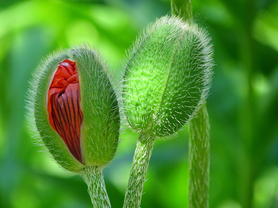 Budding Poppies - Togetherness Photograph by Eva ... Ljubicica