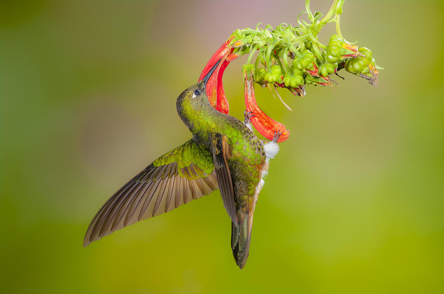 Buff-tailed Coronet holding onto flower by Jim Frandeen