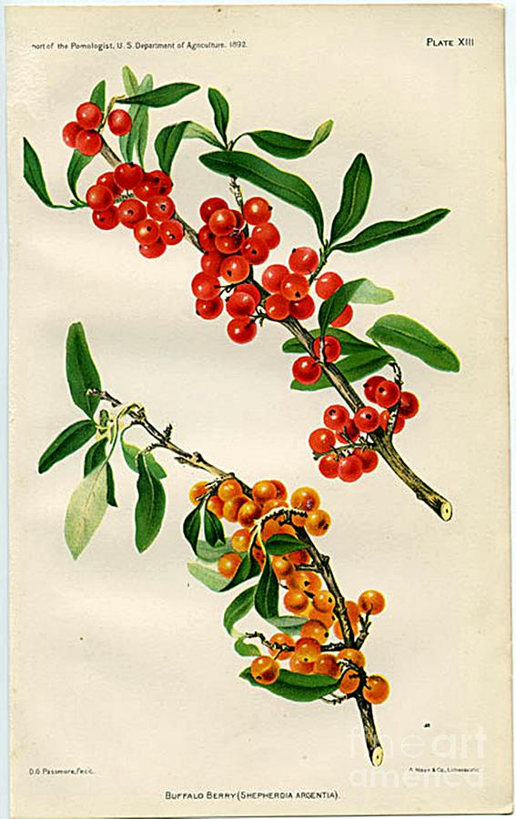 U. S. Department Of Agriculture. 1892.chromolithograph Painting - Buffalo Berry by  Department of Agriculture