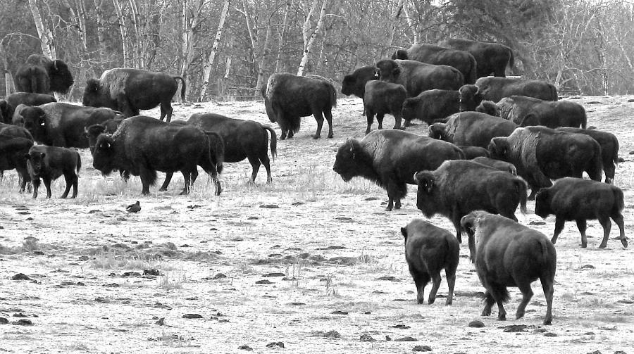 Herd Of Buffalo Photograph - Buffalo by Brian Sereda