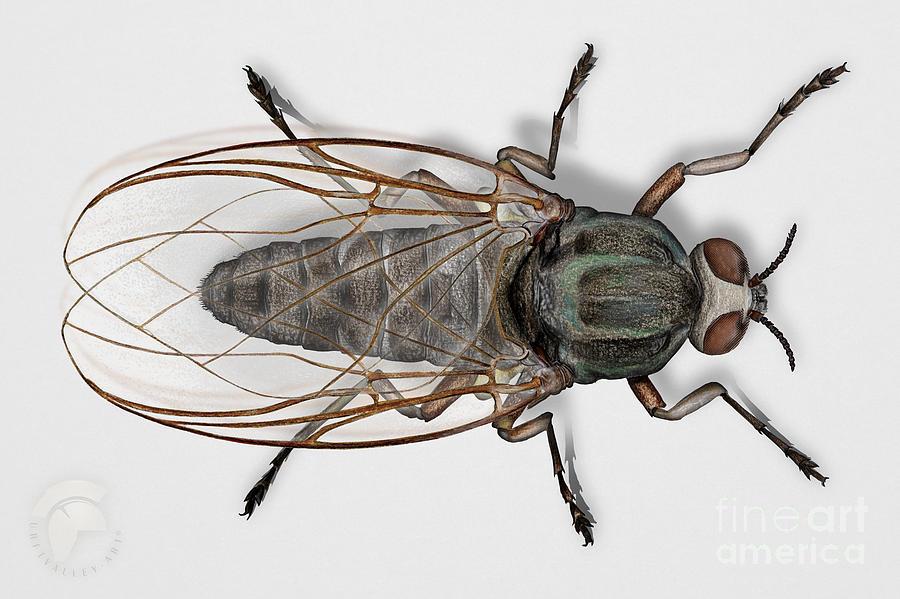 Buffalo Gnat Or Black Fly - Simuliidae Painting