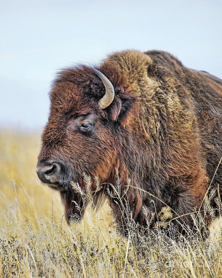 Buffalo Photograph - Buffalo Portrait by Dale Erickson