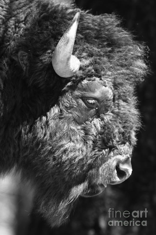 Nature Photograph - Buffalo Portrait by Robert Frederick