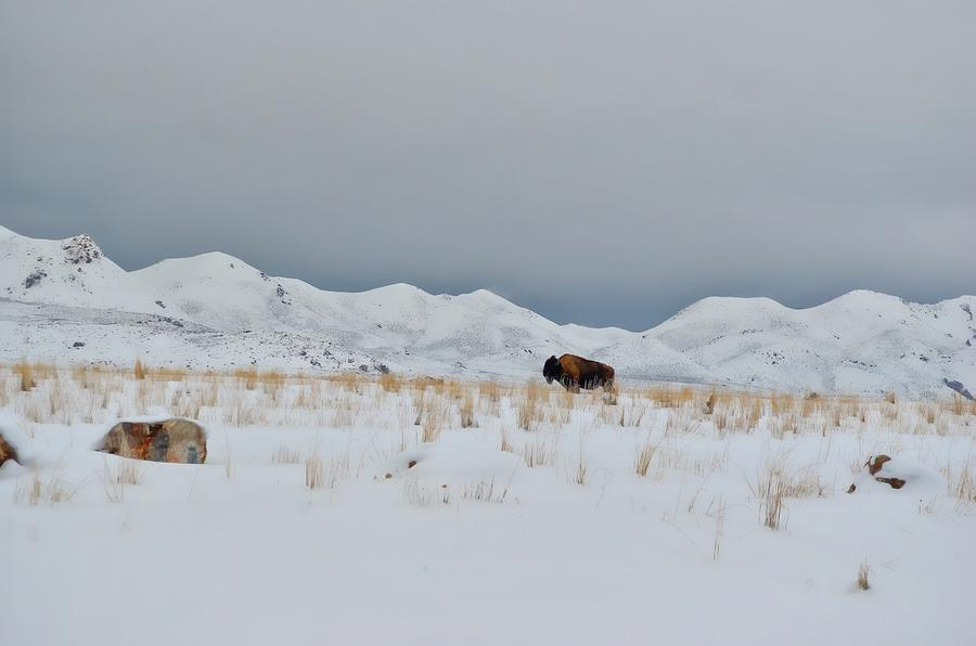 Buffalo Winter Photograph by Dianna Lindahl