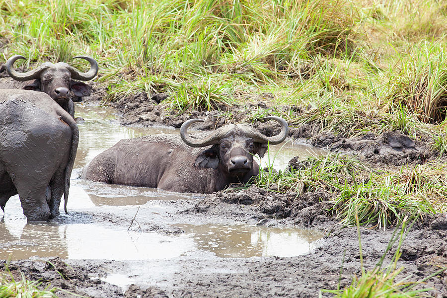 Buffaloes In Queen Elizabeth National Photograph by 1001slide