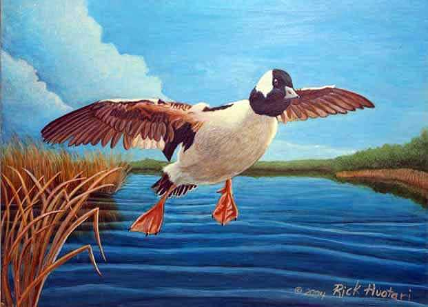 Wildlife Painting - Buffelhead Duck by Rick Huotari