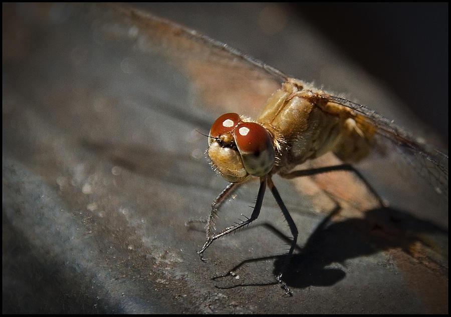 Dragon Fly Photograph - Bug-eyed by Christine Nunes