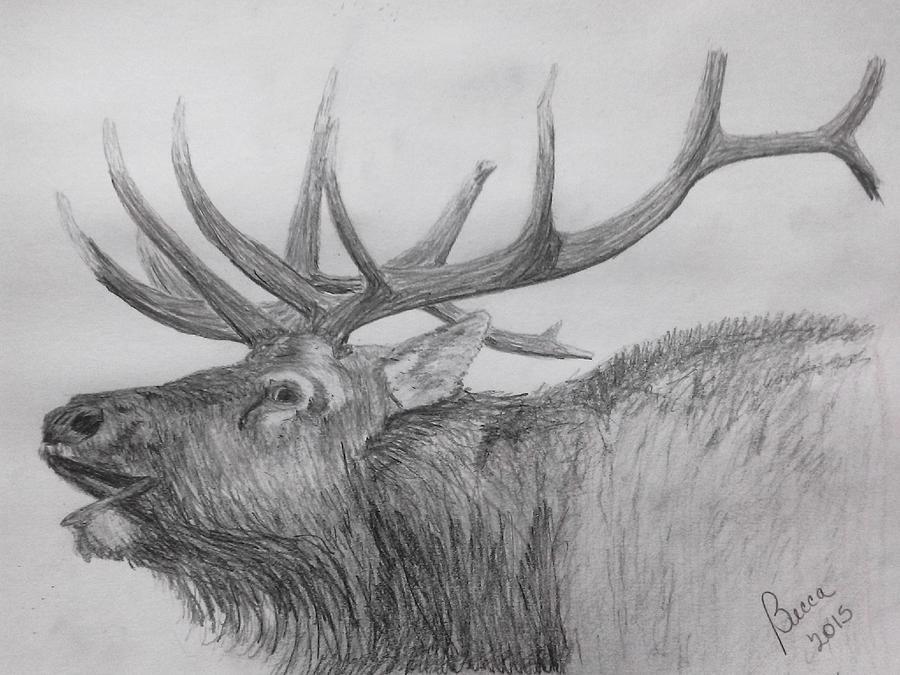 Bugling Bull Elk Drawing by Becca Miller