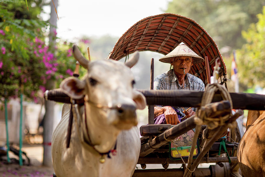 Bull And Cart Taxi Driver With Cigar Photograph by Merten Snijders