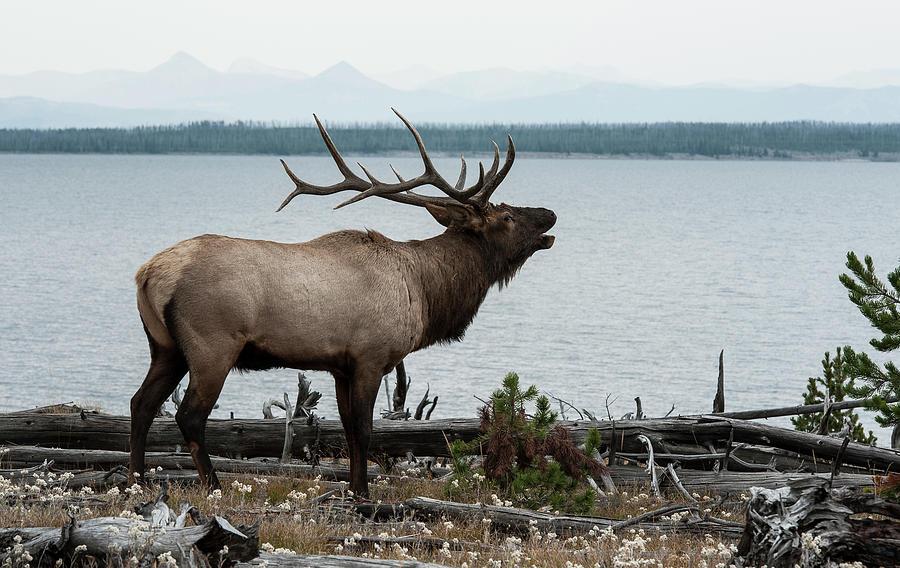 Bull Elk On Yellowstone Lake Photograph by Jeffrey Kaphan