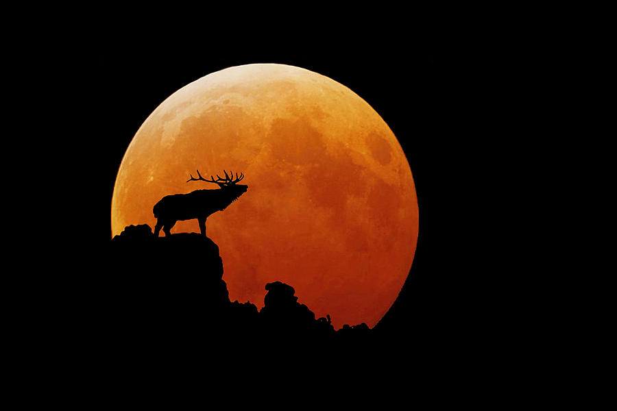 Elk Photograph - Bull Elk by Stuart Harrison